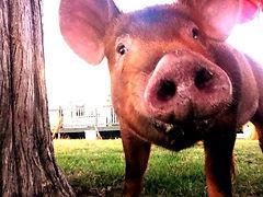 Pastured Tamworth butcher hogs