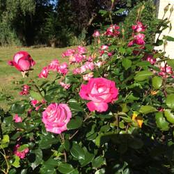 IMG_0318 rose