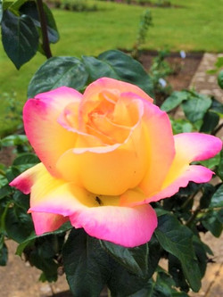 Drs Rose (2)