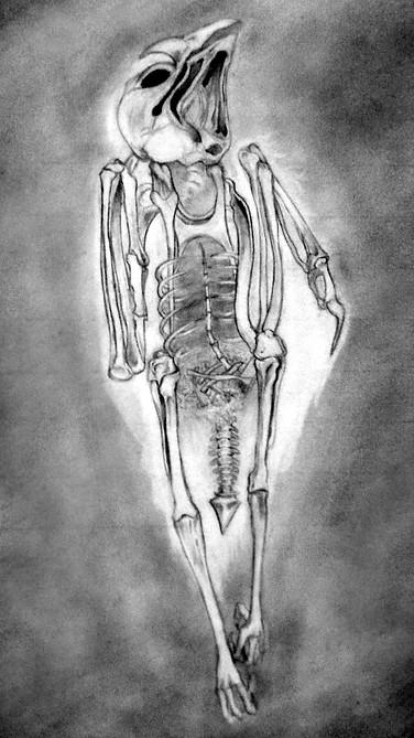 X-ray of Mummified Kestrel