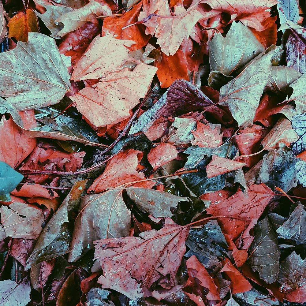 Autumn Leaves, leaf colour, autumn, color, autumn color, texture, crisp leaves