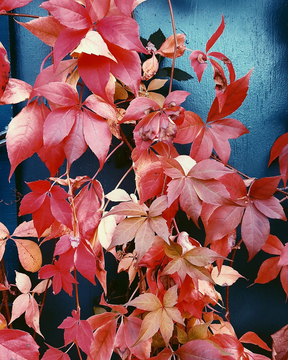 Autumn Leaves, leaf colour, autumn, color, autumn color, texture, crisp leaves, red leaves