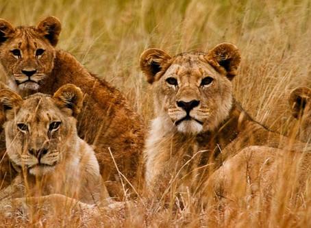 A 2nd Lion Kill