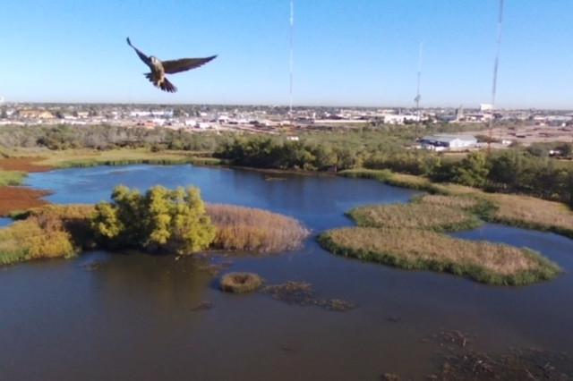 Hawk at I-20 closeup.jpg