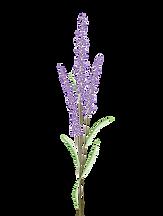 lavender-4341500_1280.png