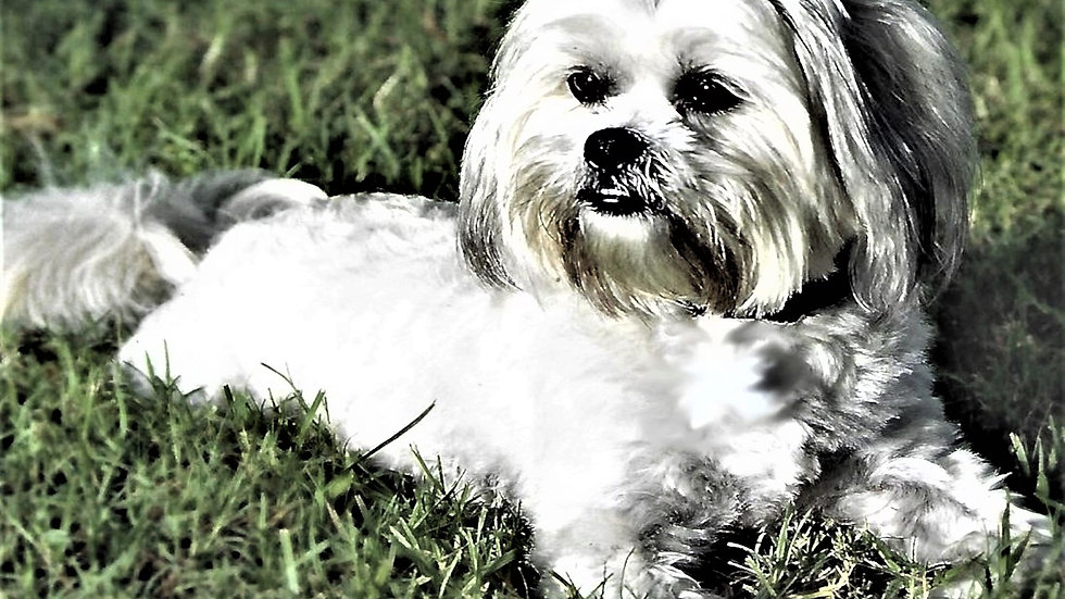 "Photography - Frankie, Lhasa Apso - ""Print"" on canvas"