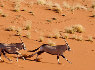 namibia-sossusvlei-dead-vlei-oryx-pair-r