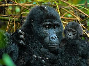 viajes-uganda-bwindi-rastreo-gorilas.jpg