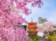 cherry-blossoms-kyoto.jpg