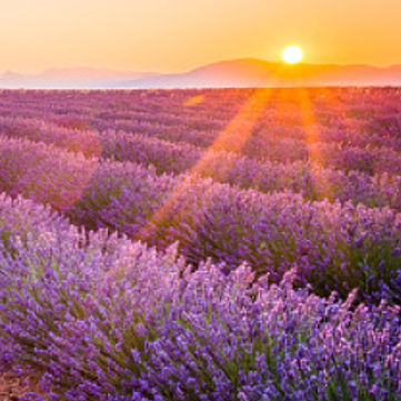 lavendar field with sun.jpg