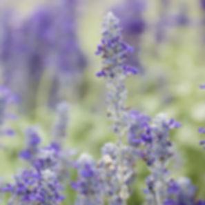 lavendar plant.jpg