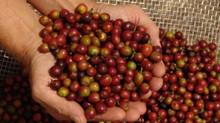 Equipamentos adequados garantem a produtividade e a qualidade do café.