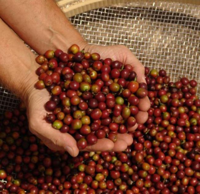 produtividade e qualidade do café