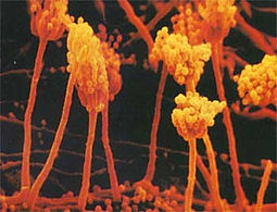 penecillium.jpg