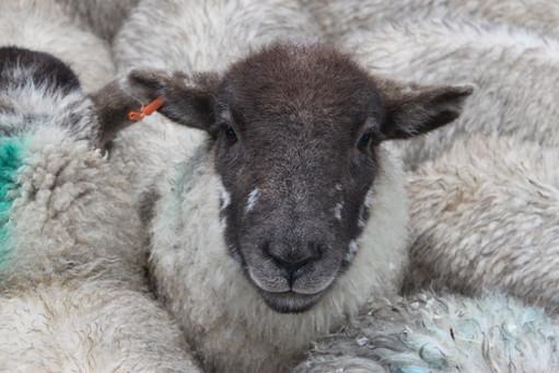 Herdwick, Monmouth Livestock Centre.JPG