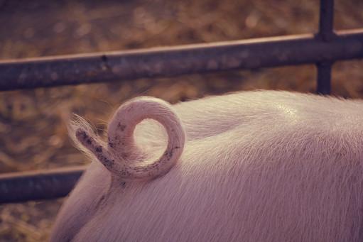 3 Fatstock Market Pig, Monmouthshire Liv