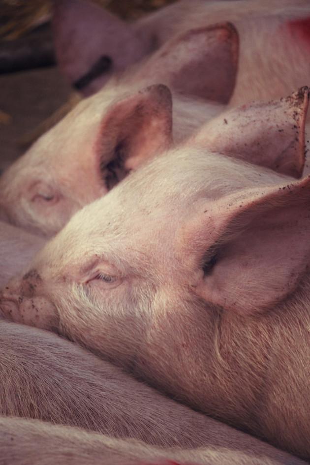 4 Fatstock Market Pigs, Monmouthshire Li