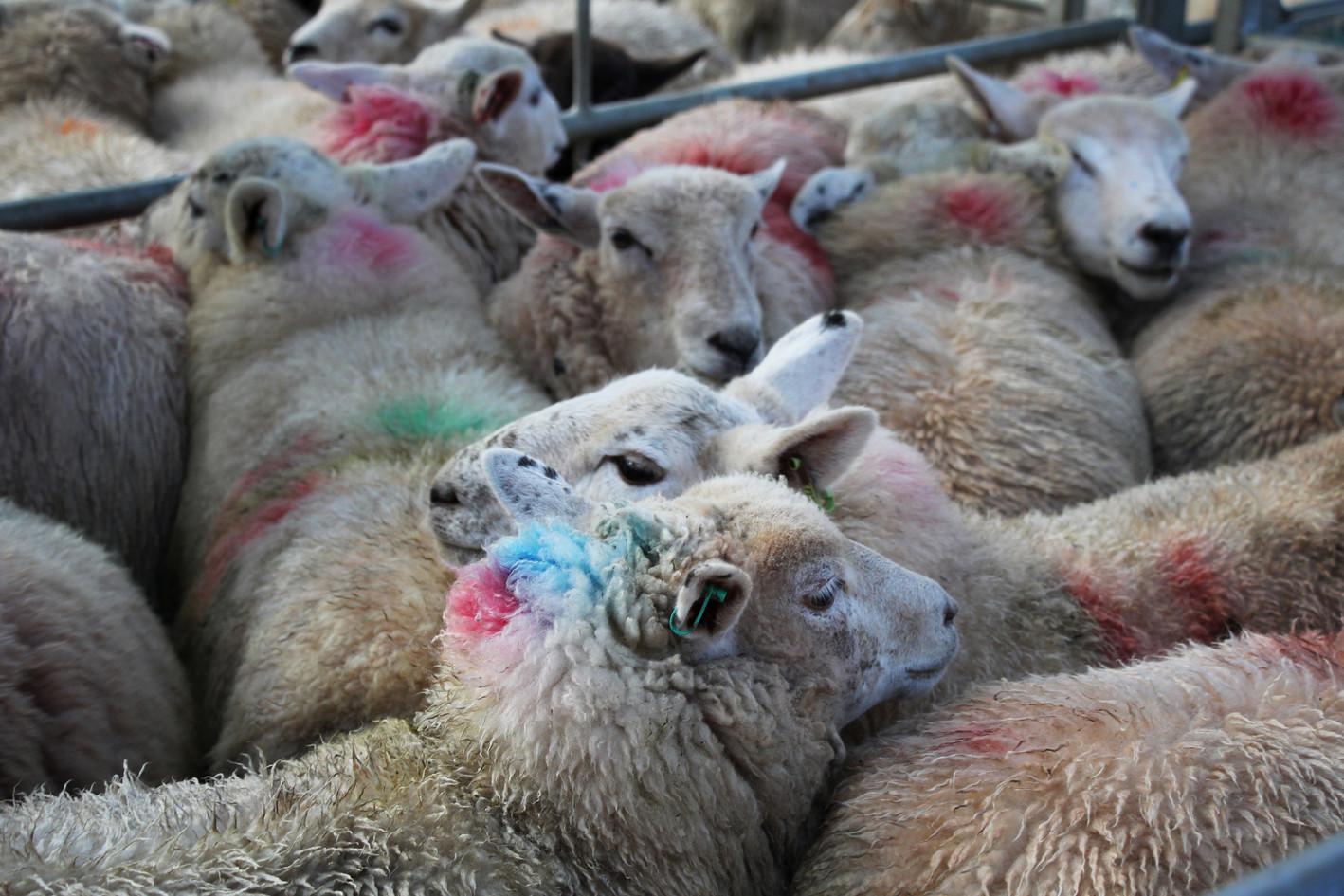Sheep, Monmouthshire Livestock Centre .j