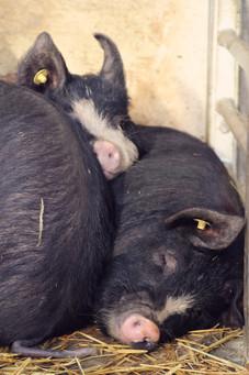 Berkshire Pigs, Monmouthshire Livestock