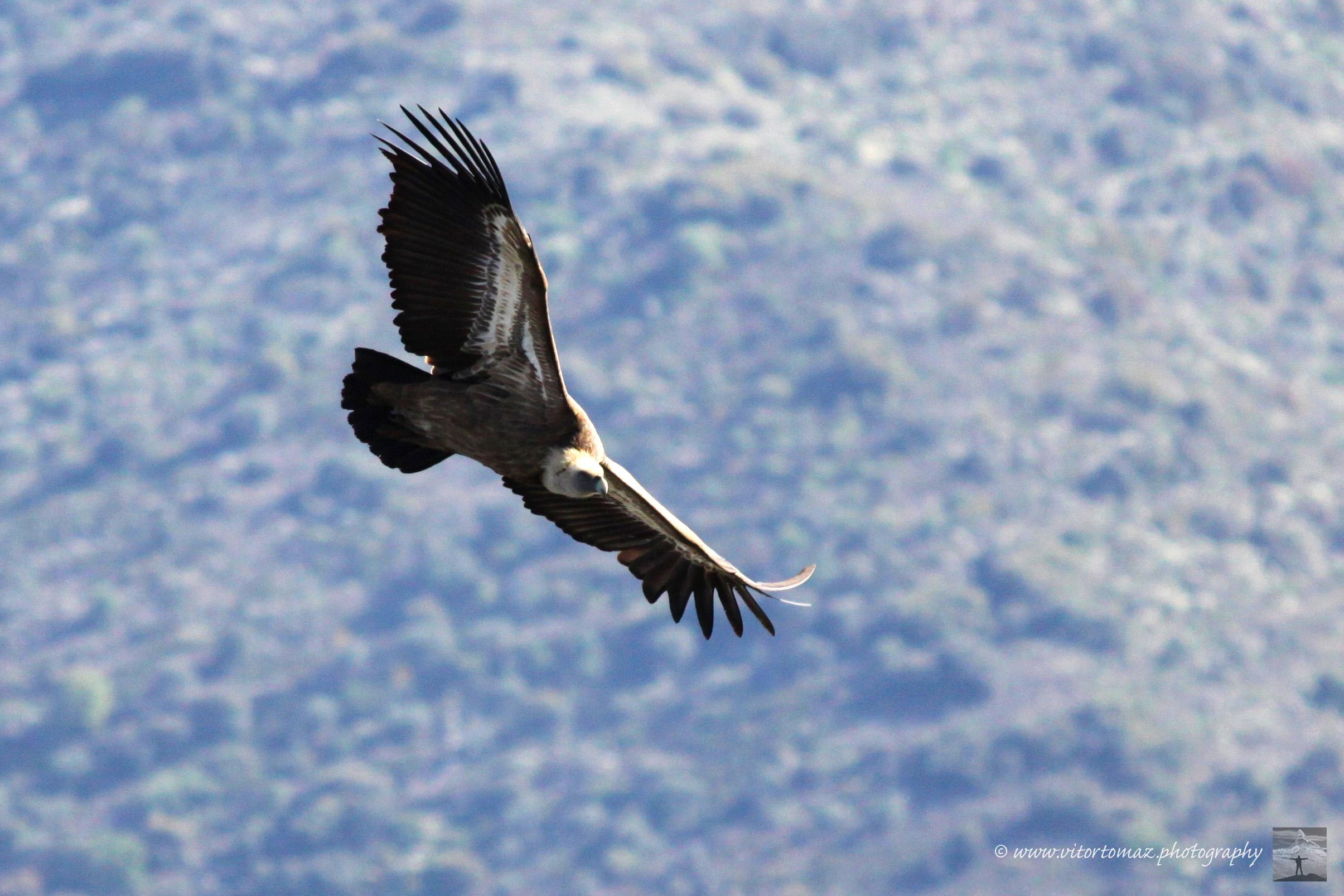 Abutres - Douro1b rz