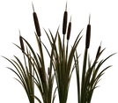 cattails.png