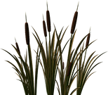 cattails_edited.png