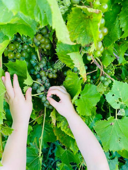 grapes grown --- wine soon to be made