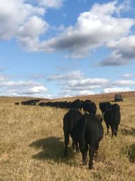 Calves Coming Home.jpg