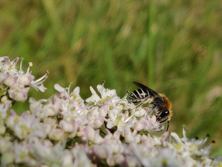 Research reveals life of rare solitary bee in sand dunes of North Coast