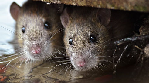 alpha wildlife knoxville - rat removal f
