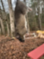 rat removal knoxville - rodent trapper m