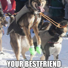 Excited Sled Dog