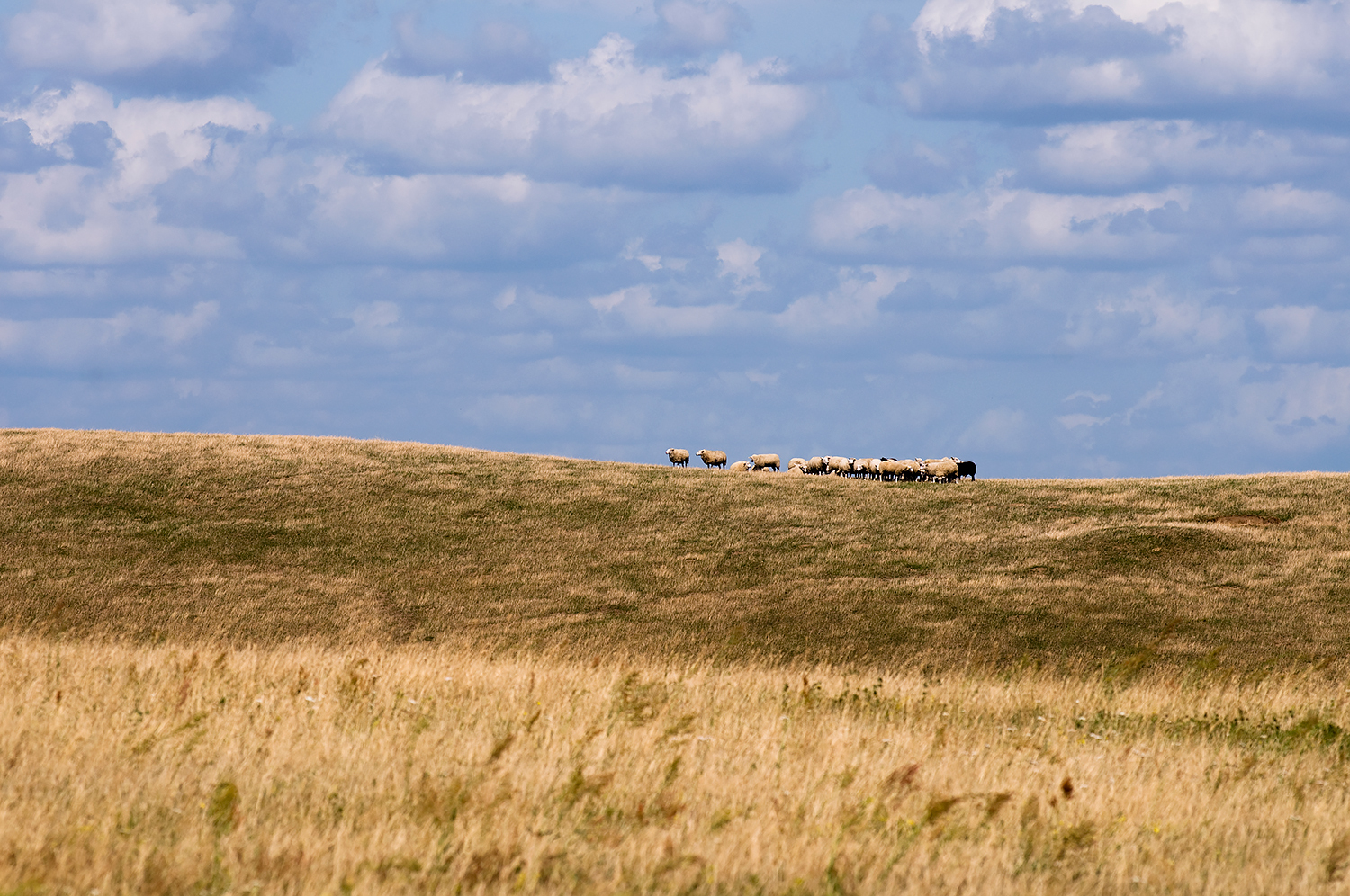 Sheep on the horizon