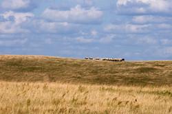 Sheep on the horizon