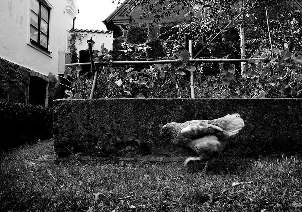 Chicken's gonna turn right