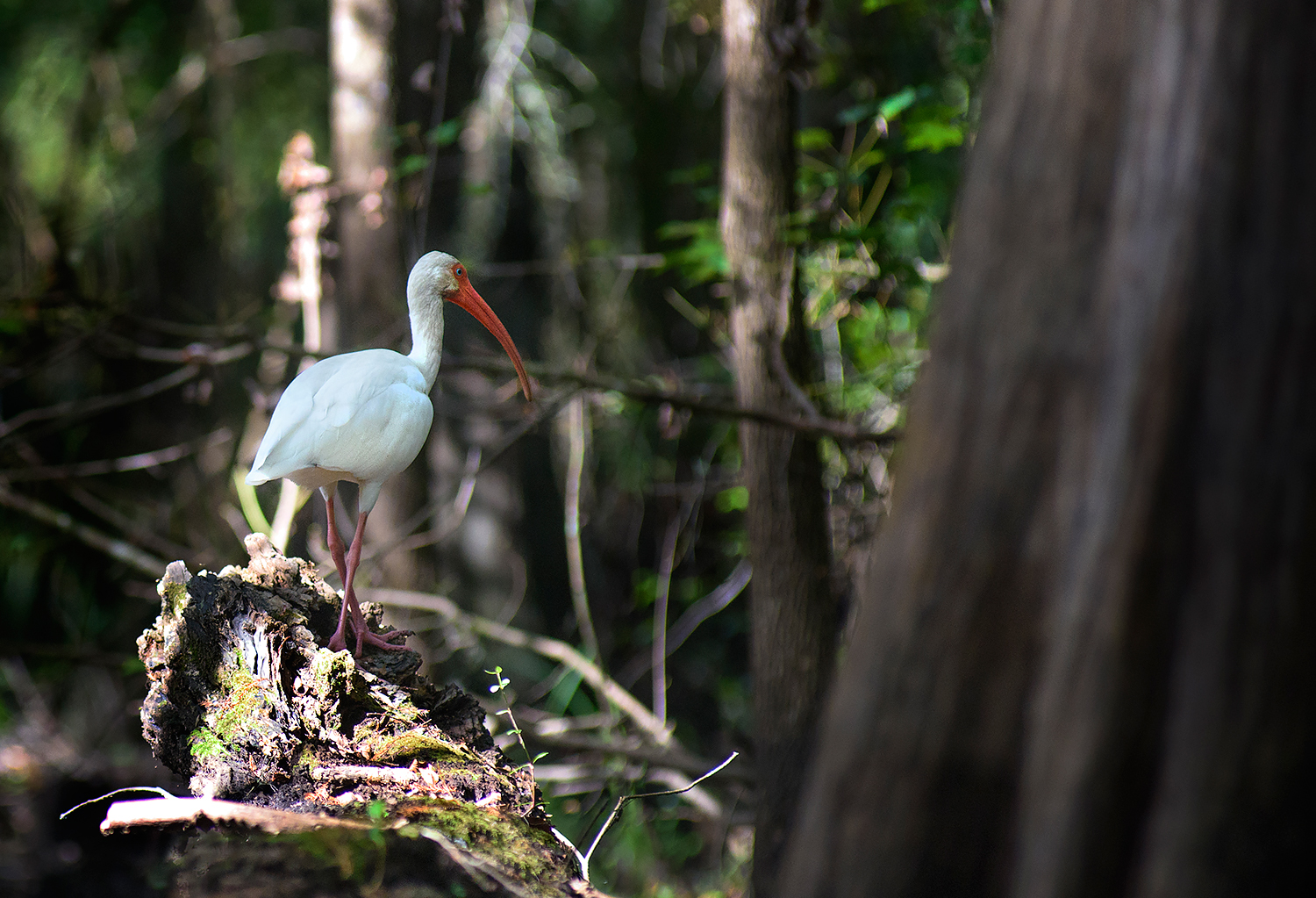 Ibis in the swamp