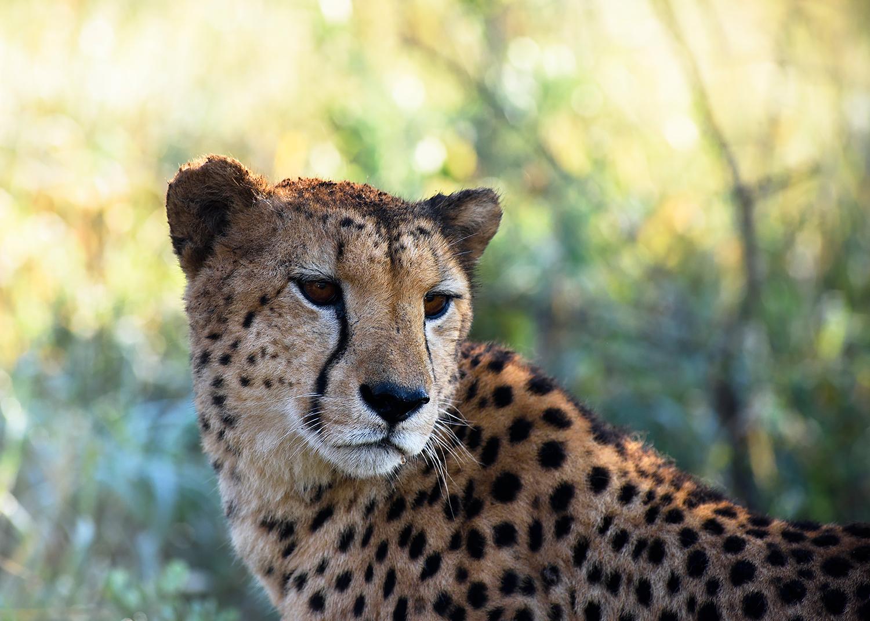 Kwazulu cheetah
