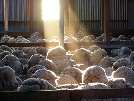 Copy of Sunlight on the sheep in the shed.JPG