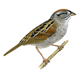 Sparrow-PNG-Clipart.png
