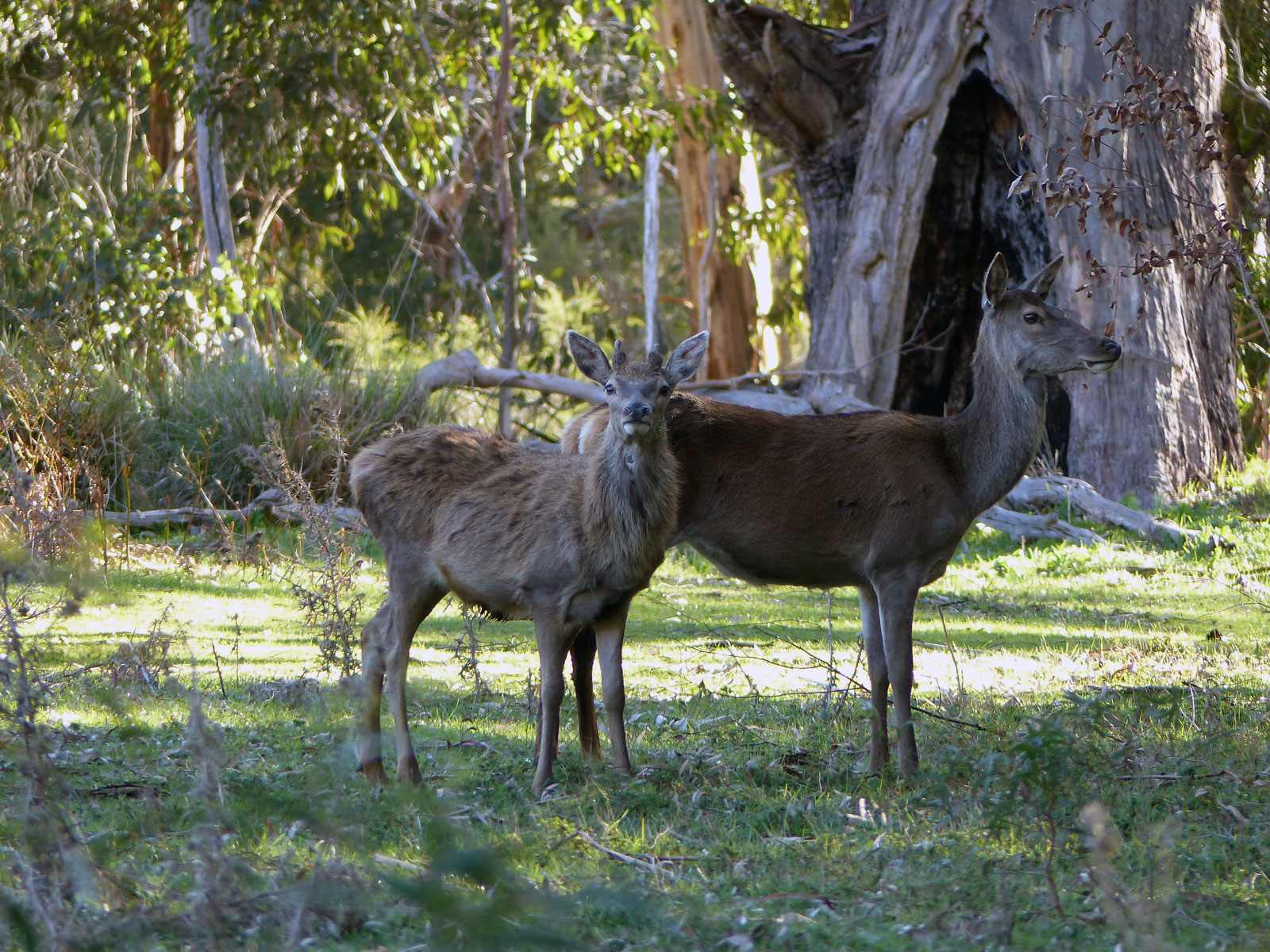Two red deer