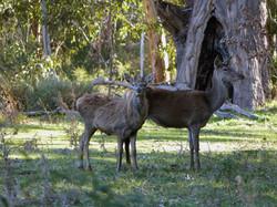 Two red deer