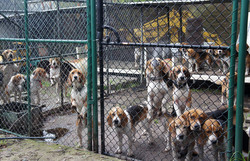 the beagle pack