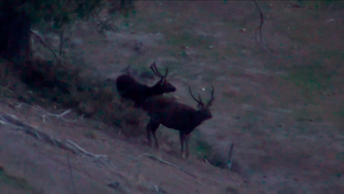 Two nice velvet stags