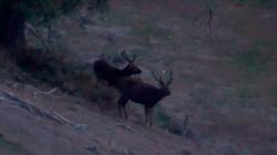 Two nice velvet stags