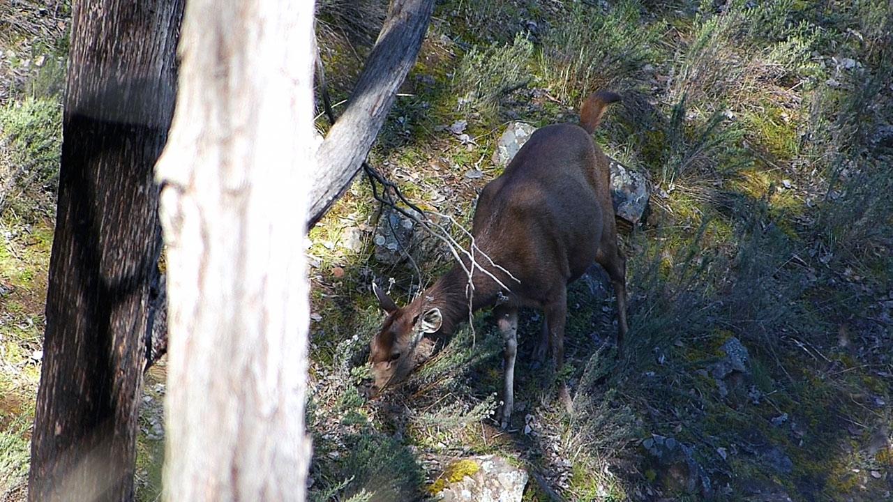 Sambar hind feeding