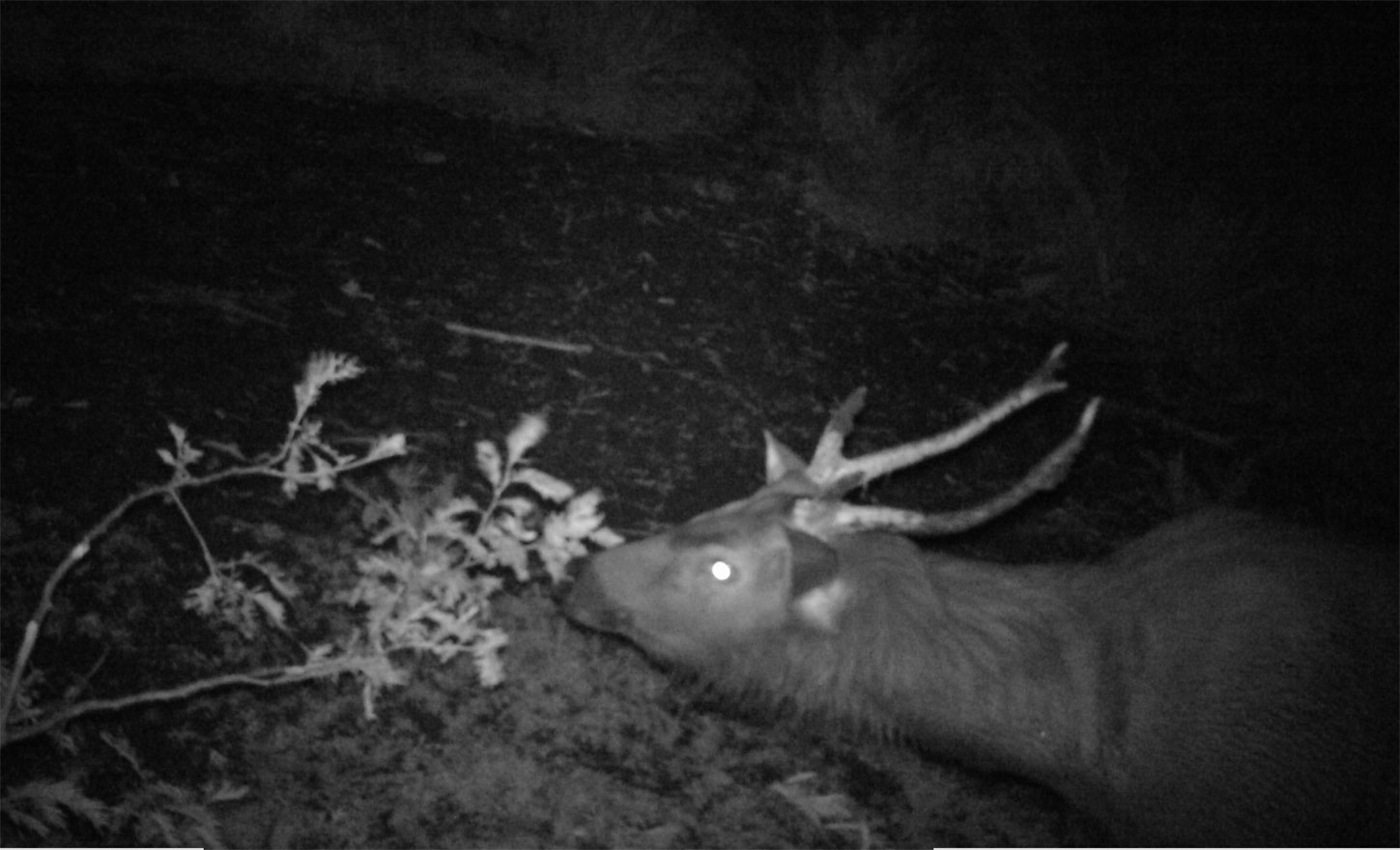 sambar stag sniffing a branch