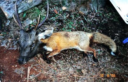 sambar fox