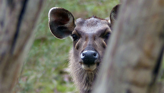Sambar Hind up close