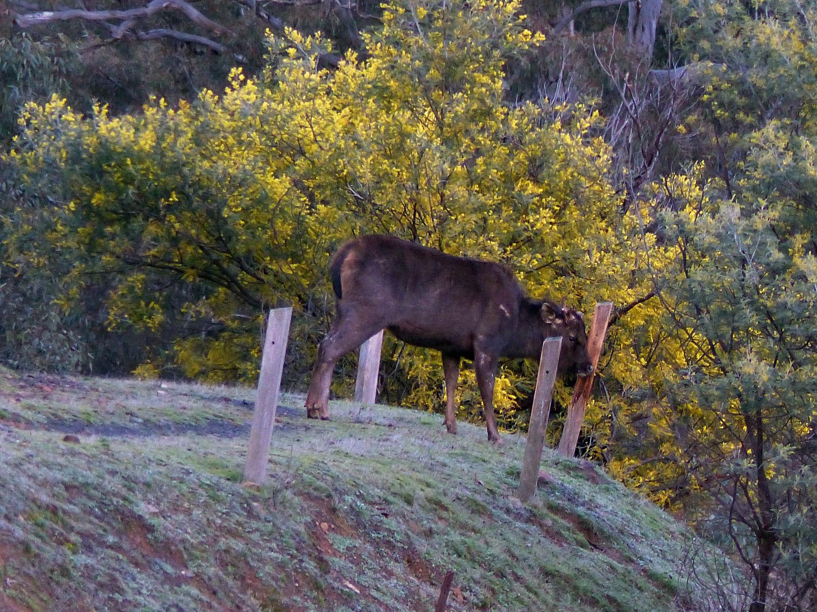 sambar stag rubbing