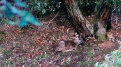 A young sambar deer sleeping